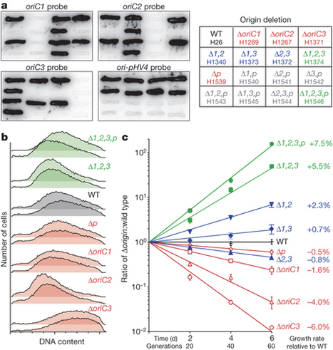 Accelerated growth in the absence of DNA replication origins : Nature : Nature Publishing Group | Systems biology and bioinformatics | Scoop.it