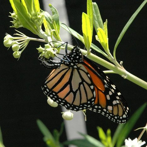 You Could Get Paid to Save Struggling Monarchs - Modern Farmer | Permaculture, Horticulture, Homesteading, Bio-Remediation, & Green Tech | Scoop.it
