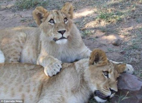British veterinary nurse fought off two lions with a BROOM as they ... | My Funny Africa.. Bushwhacker anecdotes | Scoop.it