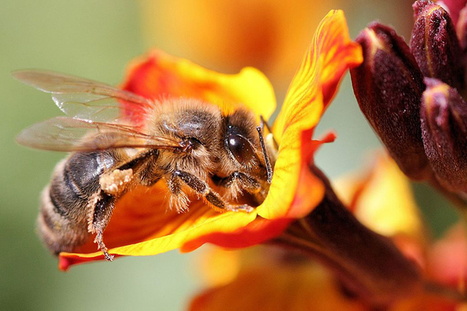 5 Things You Can Do To Help Save The Bees | IELTS, ESP, EAP and CALL | Scoop.it