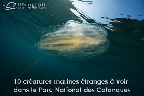 10 créatures marines étranges à voir dans le parc national des Calanques - Le Blog de la Plongée Bio | Biologie marine | Scoop.it
