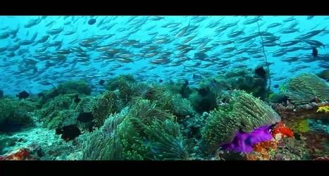 Vidéo HD | Maldives - Découvrez l'incroyable ballet des raies manta géantes ! | Rays' world - Le monde des raies | Scoop.it