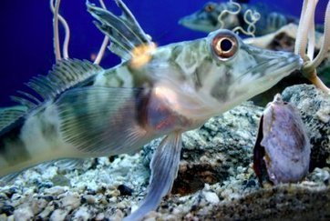 Icefish threatened by global warming | News | Practical Fishkeeping | Ecological Education | Scoop.it