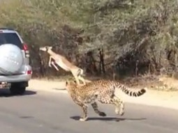 Impala eludes two hungry cheetahs by jumping into car full of tourists | Pet Health and Happiness | Scoop.it