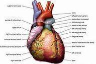 CK-12 Foundation   Heart ( Web Links )   Biology   The 21st Century   Scoop.it