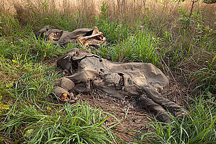 Cameroon increases elephant protection after mass slaughter | Agua | Scoop.it