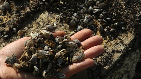 North Texas Flooding Sparks Concerns About Zebra Mussels | TX real estate buy sale | Scoop.it