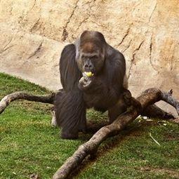 La experimentación con gorilas y chimpancés queda prohibida en España | Legislacíon, Ciencias de la salud y Derecho | Scoop.it