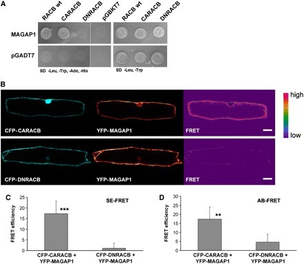 A Barley ROP GTPase ACTIVATING PROTEIN Associates with Microtubules and Regulates Entry of the Barley Powdery Mildew Fungus into Leaf Epidermal Cells | Publications @ the Börnke Lab | Scoop.it