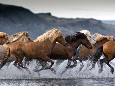 Icelandic Horses   Big Photography   HorsesOne   Scoop.it