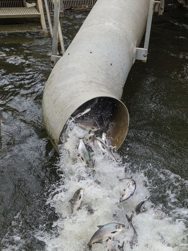 Bay Journal - Article: Deal reached on fish, eel passage at Conowingo Dam | Fish Habitat | Scoop.it