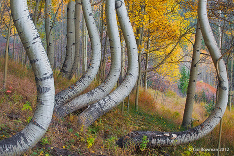 Twisted Aspen Trees by Tad Bowman | Fotógrafos na minha rede | Scoop.it