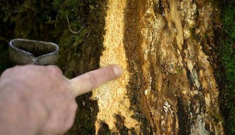 Victimes d'un champignon, des forêts de frênes du nord agonisent | Protection du bois | Scoop.it