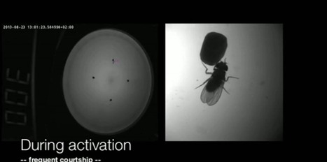 Un laser pour provoquer l'accouplement des mouches   EntomoNews   Scoop.it