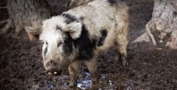 Rare Breed of Pigs Studied for Possible Type 1 Diabetes Cure | On Diabetes | Scoop.it