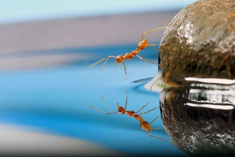 Ants remember their position when they need to form rafts | De Natura Rerum | Scoop.it