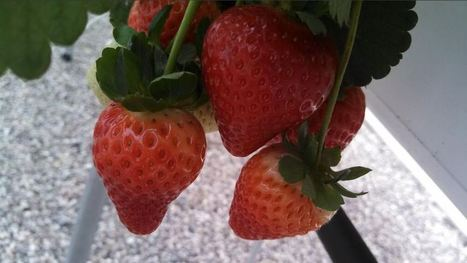 Arizonans could someday be eating the most delicious strawberries | KOLD (TV-Channel 13 Tucson) | CALS in the News | Scoop.it