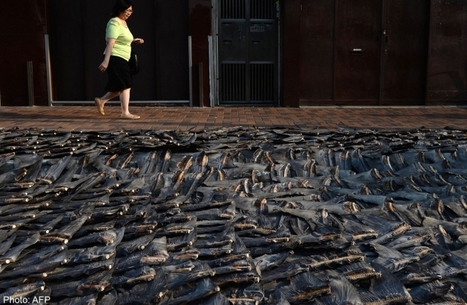 """Tide turns for shark fin in China (""""when the buying stops, the killing can too"""") 
