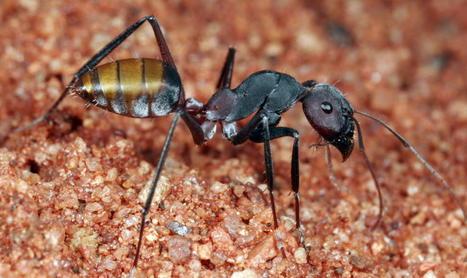 Comment font les fourmis pour rester propres? | EntomoNews | Scoop.it