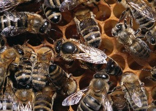 Santé animale : Abeilles - Documents, liens, autres sources d'information | Insect Archive | Scoop.it