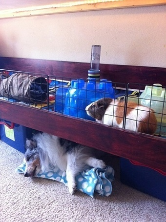Photos My dog likes the guinea pig's cage - Cavy Cages | Guinea Pigs Rule!!!!!!!!!!! | Scoop.it