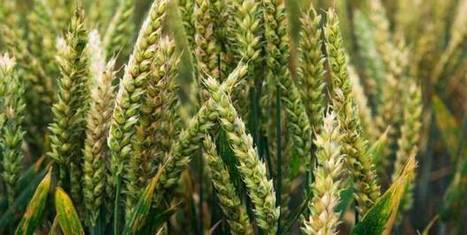 Wheat rust: The fungal disease that threatens to destroy the world ... | Sustainable agriculture, Plant pathology, Food security, Nutritional security, Food and Nutrition | Scoop.it