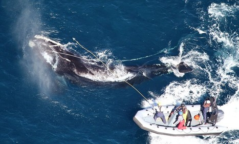 Rare endangered whale freed from commercial fishing lines | All about water, the oceans, environmental issues | Scoop.it