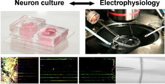 A microfluidic chip for axonal isolation and electrophysiological measurements | Neuroscience_technics | Scoop.it
