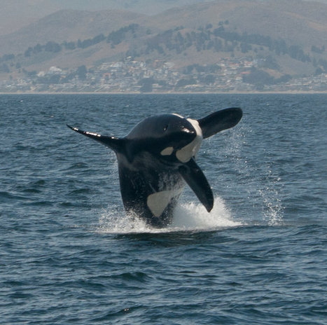 #Orcas spotted attacking gray whales near #MorroRock  ~ | Rescue our Ocean's & it's species from Man's Pollution! | Scoop.it