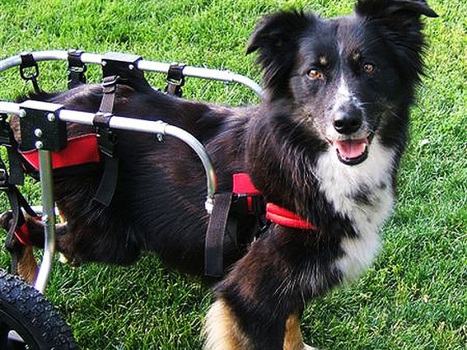 The Handiest Girlie Of All - Paralyzed pets rock their wheels: 30 awesome animals (Pigs-sheep-Alpacas-Dogs-Chickens etc) | spinaldoc | Scoop.it