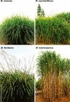 Biomass properties from different Miscanthus species | PlantBioInnovation | Scoop.it