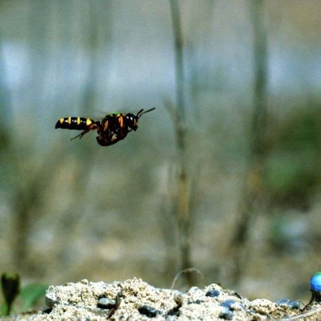 Wasps fly backwards to make sure they can find their way home   Gaia Diary   Scoop.it