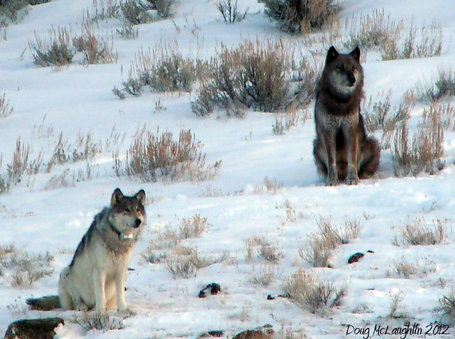 "'Famous' Wolf Is Killed Outside Yellowstone | Buffy Hamilton's Unquiet Commonplace ""Book"" 
