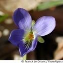 La violette odorante, efficace contre la toux ? | Actualités pharmaceutiques | Scoop.it
