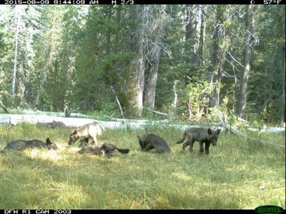 We Know a Little More About California's Wolves' Family Tree | Advocating for Wildlife | Scoop.it