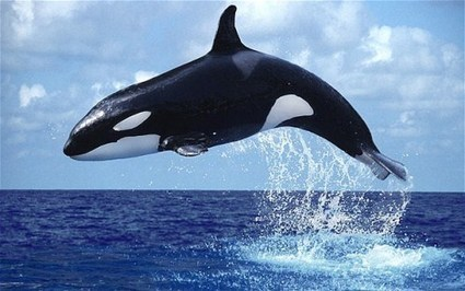 Watch video as orca killer whales play off BC Galiano Island Coast | Orca Whales in the Wild | Scoop.it