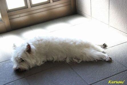 視線が・・・ (^^;)   ☆メルのわんぱく日記☆   West Highland White Terrier   Scoop.it