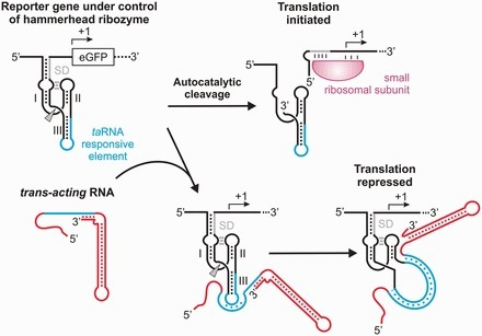 An engineered small RNA-mediated genetic switch based on a ribozyme expression platform | SynBioFromLeukipposInstitute | Scoop.it