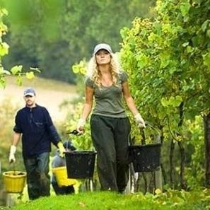 English wine hails bumper year | Autour du vin | Scoop.it