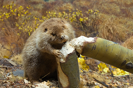 Beavers restore dead wood in boreal forests | GarryRogers NatCon News | Scoop.it