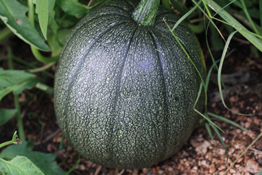 'Tatume': The Squash of Many Names | HortUpdate - June 2010 | Aggie Horticulture | Annie Haven | Haven Brand | Scoop.it