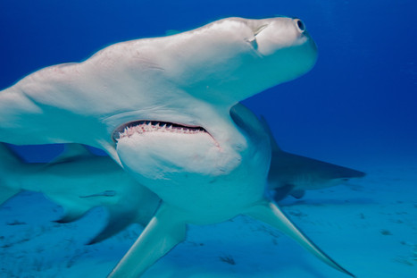 They're #Disappearing Faster Than Any Other #Shark Species   Rescue our Ocean's & it's species from Man's Pollution!   Scoop.it