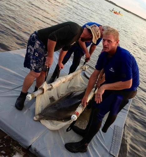 #Dolphin found #stranded in #MerrittIsland #wildlife refuge - WFTV Orlando   Rescue our Ocean's & it's species from Man's Pollution!   Scoop.it