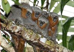 Newly Found Brazilian Rainforest Monkey Already at Risk | GarryRogers Biosphere News | Scoop.it