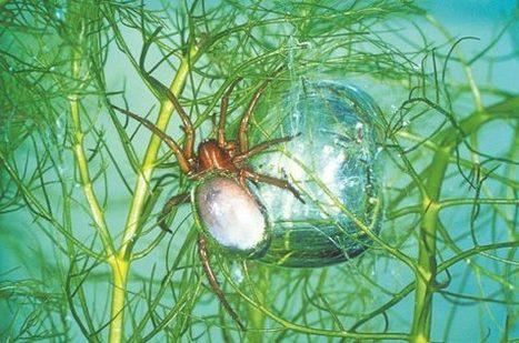 Vesihämähäkki aistii hiilidioksidin | Biologygeography teaching | Scoop.it