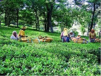 Budget 2013: Tea sector seeks crop insurance and fertiliser subsidy - Economic Times | Agriculture Insurance | Scoop.it