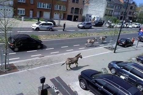 Zebras run free across the savage plains of Schaarbeek | Communication in  the digital era | Scoop.it