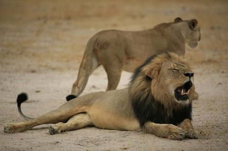 American Hunter Killed Cecil, Beloved Lion That Was Lured Out of Its Sanctuary | Nerd Vittles Daily Dump | Scoop.it
