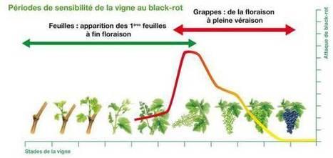 Maladie de la vigne : le black-rot refait surface | Le Vin et + encore | Scoop.it