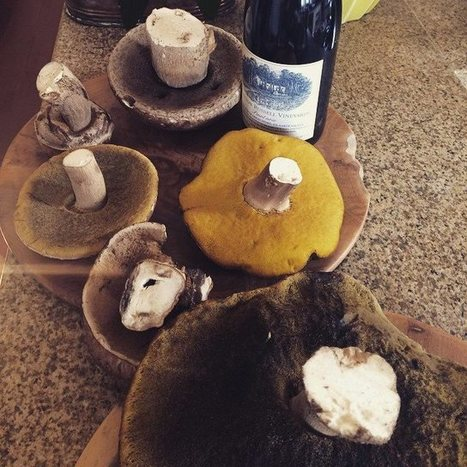 South Africa:  Boletes from Hamilton Russel vineyards | The Porcini Chronicles | Scoop.it